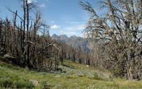 The spread of insects such as mountain pine beetles has devastated forests in the Western U.S.