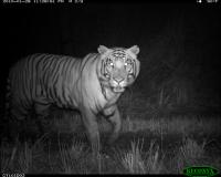 This tiger, named Rhino Killer, was captured by one of Neil Carter's camera traps.