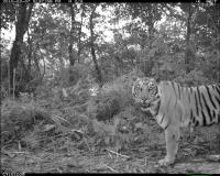 Tiger caught in a camera trap in Chitwan, Nepal