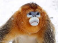Study to investigate programs encouraging sustainable golden monkey habitat management in China