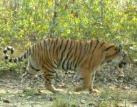 To know a tiger is at least to start tolerating them, study shows